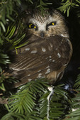 Northern Saw-whet Owl at its daytime roost in a yew in  January.