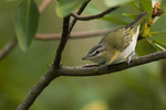 Red-eyed Vireo in magnolia in early September. The Red-eyed Vireo nests in North America and winters in the neotropics.
