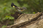 Female American Redstart in late August on fall migration.