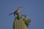 Curve-billed Thrasher on saguaro.