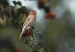 Male House Finch in hawthorn in early October.