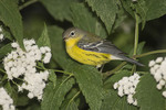 First fall male Magnolia Warbler in white snakeroot on fall migration in October.