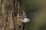 Female White-breasted Nuthatch.