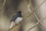 Male Dark-eyed Junco, slate-colored sub-species.