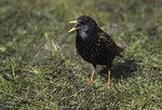 Adult male European Starling on lawn.