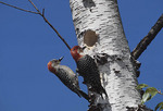 Red-bellied Woodpecker pair at newly excavated tree cavity in birch in April, female at left.