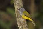 Gray-headed Canary Flycatcher.
