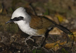White-crested Laughingthrush.