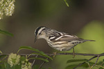 Female Black-and-white Warbler in Black Cherry (Prunus serotina) in mid May on spring migration.
