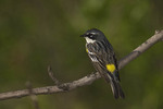 Male Yellow-rumped Warbler on spring migration in early May.
