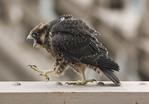 Fledgling female Peregrine Falcon walks on a beam above the Brooklyn-bound traffic on the Brooklyn Bridge in late June. New York, NY.