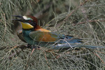 European Bee-eater on spring migration near Eilat, Isael.