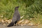Gray Catbird territorial display.