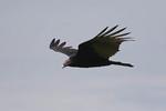 Turkey Vulture in flight on fall migration.