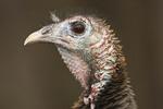 Wild Turkey. Wildlife Conversation Society. Bronx, NY.