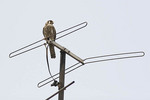 Adult female American Kestrel perched on TV antenna near nest on East 104th Street in East Harlem in early June.