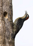 Black-cheeked Woodpecker in late October.
