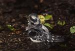 Female Downy Woodpecker bathing in June.