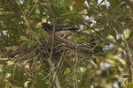 Red-billed Blue Magpie at nest.