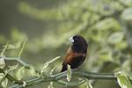 Black-headed Munia or Chestnut Munia.
