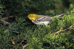 Black-throated Green Warbler on fall migration in September.