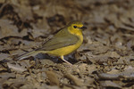 Immature female Hooded Warbler on spring migration April.