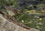 Northern Waterthrush on spring migration in early May. Formerly Seiurus noveboracensis.