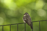 Eastern Wood-Pewee near Turtle Pond in May.