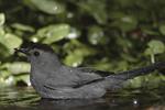 Gray Catbird bathing.
