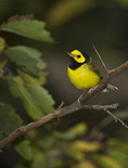 Male Hooded Warbler on fall migration in mid-September.