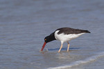 American Oystercatcher foraging at the tide line.