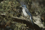Mexican Jay.
