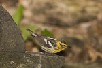 Adult female Blackburnian Warbler on spring migration in late May.