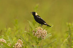 Male Bobolink perched on Milkweed.