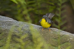 First spring male Canada Warbler on spring migration in late May.