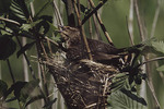 Female Red-winged Blackbird at nest. 