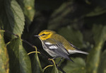 Black-throated Green Warbler in Hackberry in mid-October on fall migration.