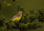 First fall female Magnolia Warbler in mid-September on fall migration.