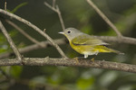 Nashville Warbler in mid-September on fall migration.