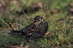 Female Red-winged Blackbird gathering nesting material.
