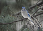 Blue Jay in January.