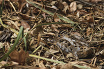 American Woodcock hiding in leaves in January.