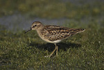 Juvenile Least Sandpiper on fall migration in August.