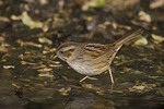 Swamp  Sparrow in early May on spring migration.