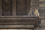 Adult male American Kestrel perched across the street from the nest on West 15th Street in mid-June.