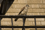 Adult female American Kestrel perched on a fire escape on West 112th Street in early July.