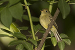 Yellow-bellied Flycatcher in late May on spring migration.