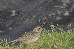 Vesper Sparrow in May on spring migration. Central Park. New York, NY. May 4, 2006.