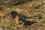 Male Eastern Towhee in October.