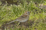 Field Sparrow in April on spring migration.